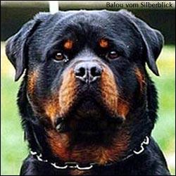 http://www.rottweiler.ru/images/rtw_baluSB1.jpg